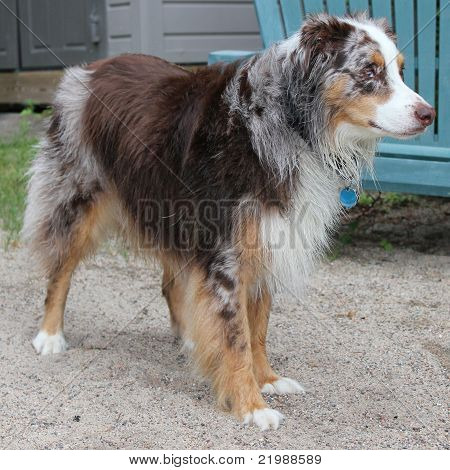 Australian Shepherd after swimming