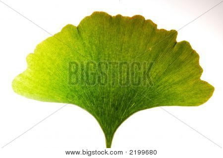 Gingko Leaf