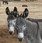 image of jack-ass  - Two gray donkeys standing side by side looking like twins - JPG
