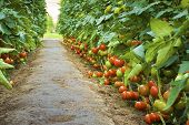 image of tomato plant  - Ripe tomatoes in a greenhouse  - JPG