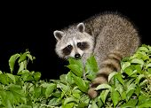 foto of raccoon  - A mother raccoon looking for food at night - JPG