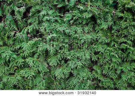 A Fir tree needles green detailed background