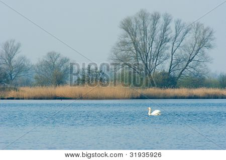 Dutch landscape with swan and nature in the Biesbosch