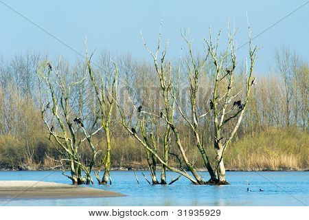 Treas full of Great Cormorants in Dutch nature landscape