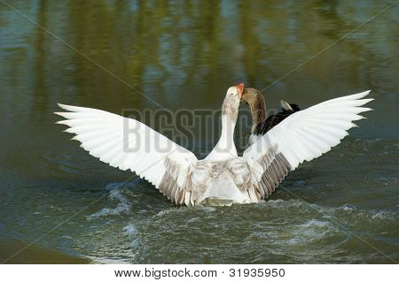 Courtship displays from gooses