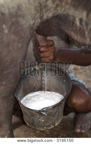 Buffalo Being Milked