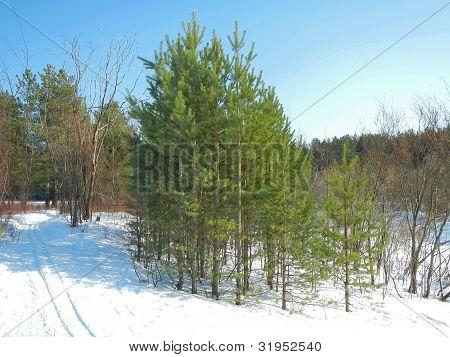 Pinheiros e árvores de peles de madeira