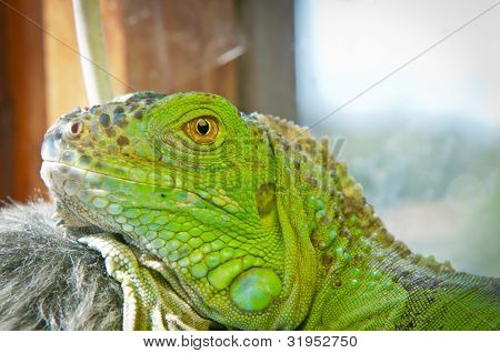 Green Iguana resting on a branchin the terrarium