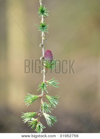Larch Branch with Flower