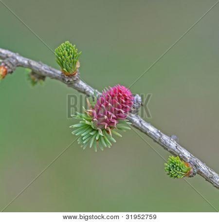 Larch tree flower