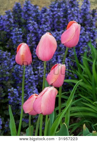 Pink tulips bloom backed by purple ajuga or bugle weed flowers.