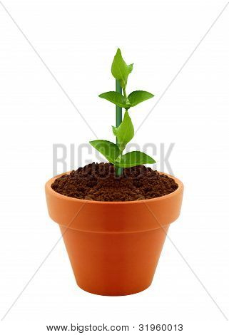 Young Plant In Clay Pot