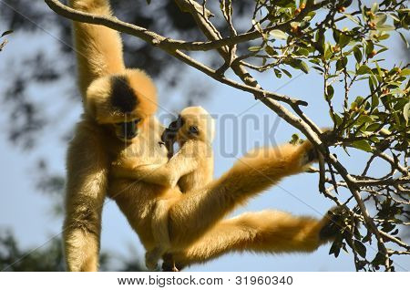 White Faced Gibbon And Young