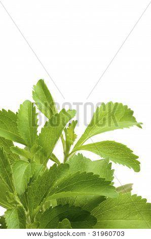 Fondo de Stevia