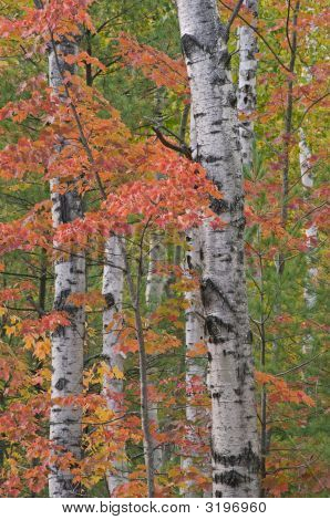 Autumn Birches And Maples