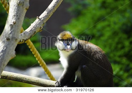 Schmidt's Spot-nosed Guenon