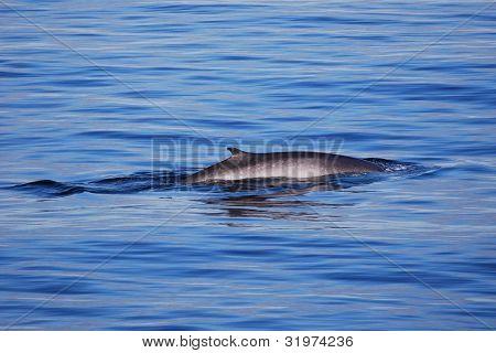 Fin Whale Breaching
