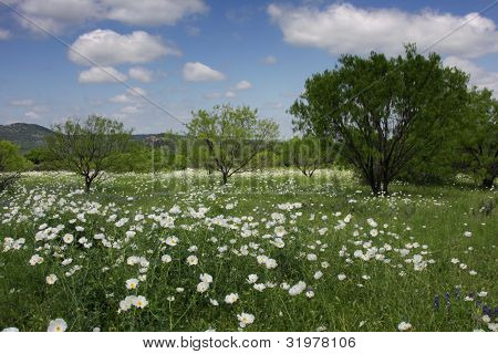 White Poppies Under White Puffy Clouds