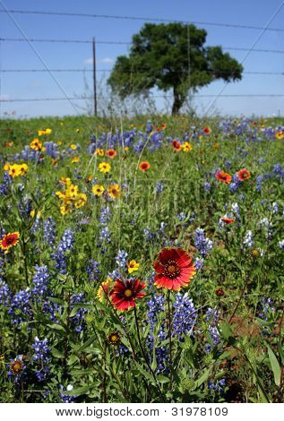 Texas Pasture Wildflower Color