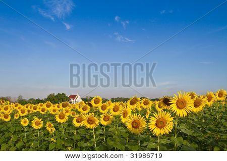 Temple in sunflower field