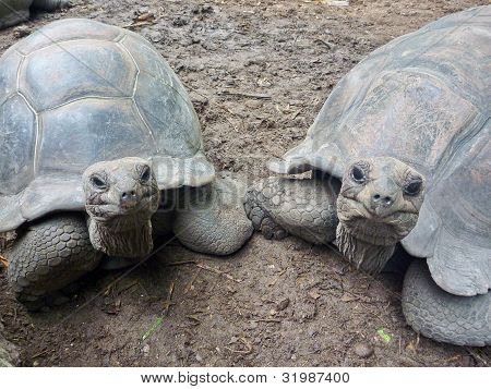 Two Seychelles Giant Turtles