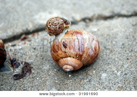 little garden snail upon a bigger one