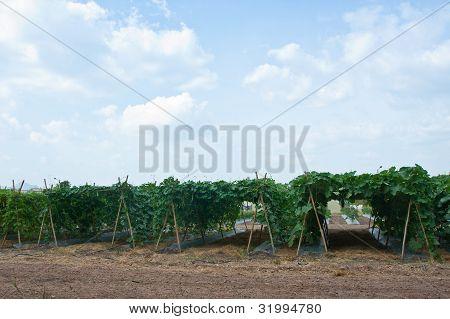 Bitter Gourd Plants