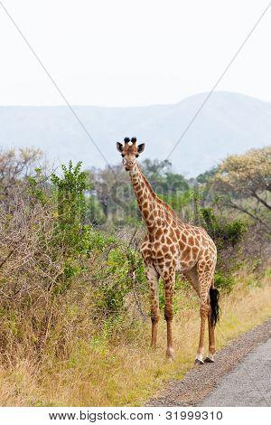 Giraffe Standing Near The Road