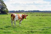 Brown Cow On Green Meadow Grass Landscapes. Herd Of Cows On The Farm Grazing On Green Grass Meadow,  poster