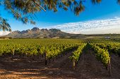 Beautiful Landscape Of Cape Winelands, Wine Growing Region In South Africa poster