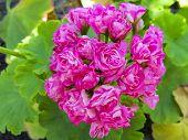Pink Geranium. Flower For The Garden. Geranium In The Flowerbed. Plants For Gardening... poster