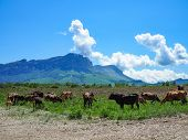 Herd Of Cows Herding On A Green Meadow In Ecological Nature Area In The Mountains. Mountain Range Ag poster