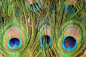 Peacock Tail Feathers. Colorful Feathers In Tail With Eye. Closeup Isolated On White Background. poster