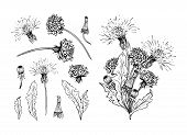Flowering Dandelion Freehand Vector Illustrations Set. Spring Honey Plant, Hand Drawn Wildflower Twi poster