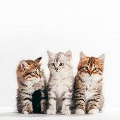 Siberian cats, portrait of three cute kittens from same litter on white background. Purebred poster