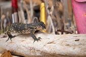 Portrait closeup of Asian water monitor or Varanus Salvator lizard, Krabi province, Thailand. poster