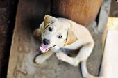 Portrait Of Thai Puppy Native Dog, Stray Dog With Eyes Focus poster