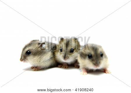 Three Djungarian Hamsters