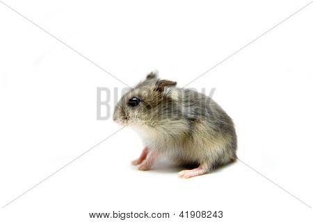 Djungarian Hamster on white