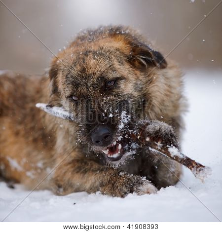 Portrait Of A Shaggy Mongrel Gnawing A Stick