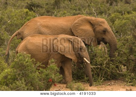 Two Elephants In The Bush, Addo Elephant Park South Africa