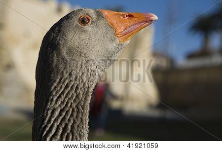 A Greylag Goose Head