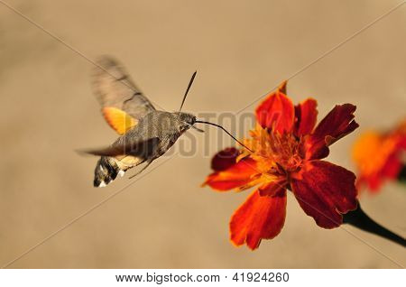 Macroglossum stellatarum, colibrí Hawk-polilla