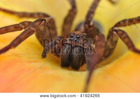 Spider, House spider, Tegenaria