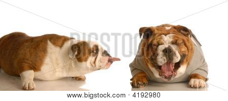 Bulldog Sticking Tongue Out At Dog Laughing