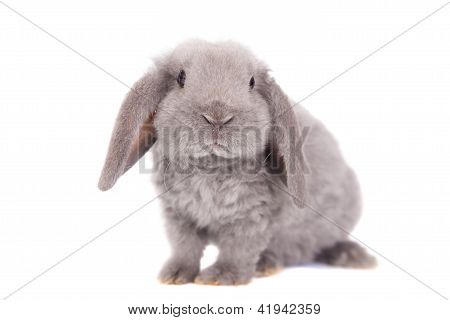 grau lop eared rabbit