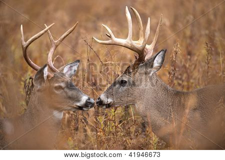 Two White-tailed Deer Bucks