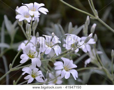 Snow-in-summer Flowers - Cerastium Tomentosum Close-up