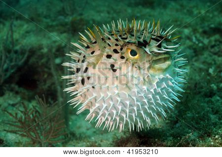 Blowfish ou Baiacu no Oceano