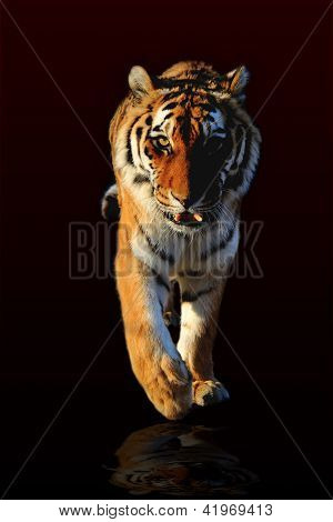 tiger walking black background